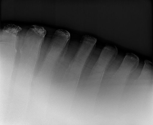 Equine radiograph X-Ray spine