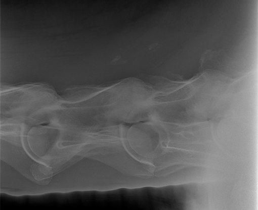Equine radiograph X-Ray