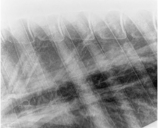 veterinary radiography image