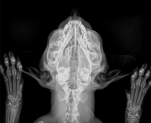 Smart DR feline_veterinary radiography